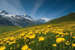 Meadow of Yellow Flowers and Mountains1